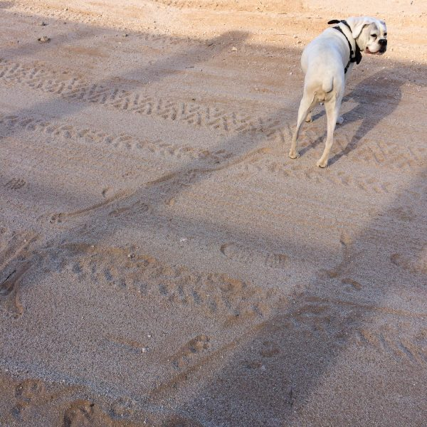 Many different things leave tracks in the sand near the border fence. Bella (the dog) has a hard time walking and sometimes drags her hind leg.