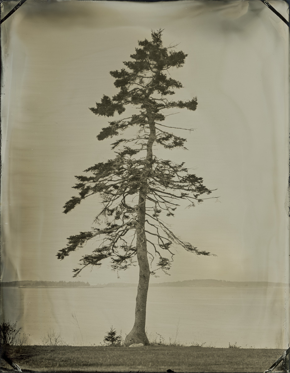 Sara's Tree, Owls Head, Maine