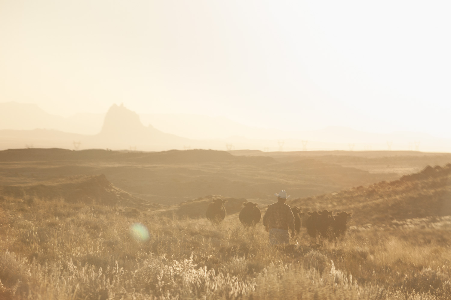 A rancher brings in some cattle that had been grazing on BLM land near Waterflow, NM. Shiprock rises out of the haze in the background.